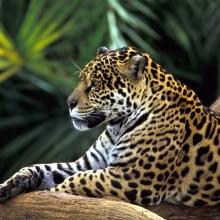 Onça Pintada na Floresta Amazônica, Brasil (Jaguar in Amazon Rainforest, Brazil)