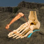 Navodna kost stopala Australopiteka Afarensis